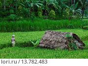 Купить «a balinese woman walking through rice fields, Indonesia, Bali», фото № 13782483, снято 18 января 2019 г. (c) age Fotostock / Фотобанк Лори