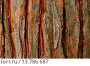 Купить «incense cedar, Californian white cedar (Calocedrus decurrens), bark», фото № 13786687, снято 21 октября 2019 г. (c) age Fotostock / Фотобанк Лори