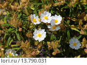 Купить «Montpelier Rock Rose (Cistus monspeliensis), blooming», фото № 13790031, снято 18 февраля 2019 г. (c) age Fotostock / Фотобанк Лори