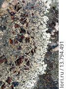 Купить «Xanthoparmelia (Xanthoparmelia conspersa, Imbricaria conspersa, Imbricaria conspersa var. coralloidea, Parmelia atlantica, Parmelia bakonyensis, Parmelia...», фото № 13794491, снято 22 февраля 2019 г. (c) age Fotostock / Фотобанк Лори