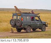 Купить «cheetah (Acinonyx jubatus), sitting on the roof of a safari jeep, Kenya, Masai Mara National Park», фото № 13795819, снято 16 февраля 2019 г. (c) age Fotostock / Фотобанк Лори