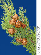 Купить «Italian cypress (Cupressus sempervirens), branch with cones», фото № 13796131, снято 18 февраля 2019 г. (c) age Fotostock / Фотобанк Лори
