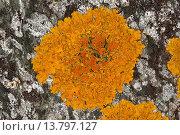 Купить «Common orange lichen, Yellow scale, Maritime sunburst lichen, Shore lichen, Golden shield lichen (Xanthoria parietina, Parmelia parietina), on a coastal rock of the Baltic Sea, Germany», фото № 13797127, снято 22 февраля 2019 г. (c) age Fotostock / Фотобанк Лори