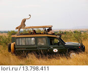 Купить «cheetah (Acinonyx jubatus), walking over the roof of a safari jeep, Kenya, Masai Mara National Park», фото № 13798411, снято 16 февраля 2019 г. (c) age Fotostock / Фотобанк Лори