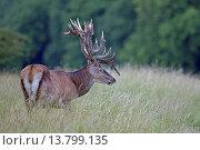Купить «red deer (Cervus elaphus), stag with velvet relics at the antler, Denmark, Jylland», фото № 13799135, снято 22 апреля 2019 г. (c) age Fotostock / Фотобанк Лори