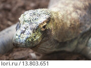 Купить «Komodo dragon», фото № 13803651, снято 21 февраля 2019 г. (c) PantherMedia / Фотобанк Лори