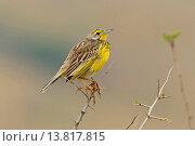 Купить «yellow-throated longclaw (Macronyx croceus), sitting on a spiny twig, South Africa, Hluhluwe-Umfolozi National Park», фото № 13817815, снято 20 января 2019 г. (c) age Fotostock / Фотобанк Лори
