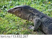 Купить «Water monitor lizard (Varanus salvator) up close in Suan Rot Fai Park in Bangkok, Thailand.», фото № 13832267, снято 24 августа 2019 г. (c) age Fotostock / Фотобанк Лори