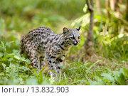 Купить «TIGER CAT OR ONCILLA leopardus tigrinus, south America», фото № 13832903, снято 22 июля 2019 г. (c) age Fotostock / Фотобанк Лори