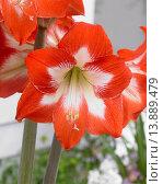 Купить «Hippeastrum 7095», фото № 13889479, снято 1 июня 2020 г. (c) age Fotostock / Фотобанк Лори