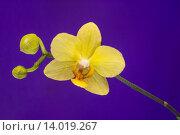 Желтый цветок орхидеи на фиолетовом фоне. Стоковое фото, фотограф Михаил Степанов / Фотобанк Лори