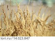 Стебли высокой сухой травы на поле. Стоковое фото, фотограф Александр Касперович / Фотобанк Лори