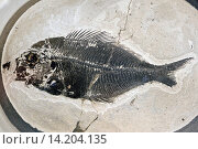 fossilized beardfish from Fur Formation, palaeocene/eocene, Denmark, Limfjord. Стоковое фото, фотограф F. Hecker / age Fotostock / Фотобанк Лори