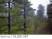 Black Pine (Pinus nigra, Pinus austriaca, Pinus nigra ssp. calabrica, Pinus nigra ssp. laricio), pine forest on Etna mountain, Italy, Sicilia. Стоковое фото, фотограф F. Hecker / age Fotostock / Фотобанк Лори