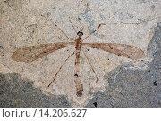 fossilized mosquito from Fur Formation, palaeocene/eocene, Denmark, Limfjord. Стоковое фото, фотограф F. Hecker / age Fotostock / Фотобанк Лори