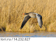 Купить «Greylag goose in flight, Anser anser, Hesse, Germany, Europe.», фото № 14232827, снято 13 июля 2020 г. (c) age Fotostock / Фотобанк Лори