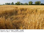 Купить «Game damage from wild boars in wheat field, Hesse, Germany, Europe.», фото № 14235235, снято 16 декабря 2017 г. (c) age Fotostock / Фотобанк Лори