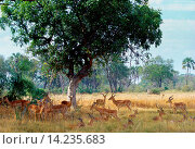 Herd of impala in Moremi National Park, Botswana. Стоковое фото, фотограф Tim Graham / age Fotostock / Фотобанк Лори