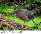Купить «A green heron, butorides striatus, hunts in a swamp, Pennsylvania, USA.», фото № 14275287, снято 14 октября 2013 г. (c) age Fotostock / Фотобанк Лори