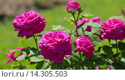 Купить «blossoming roses plant in spring garden», видеоролик № 14305503, снято 23 мая 2015 г. (c) Яков Филимонов / Фотобанк Лори