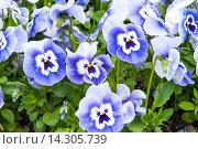 Купить «Синяя Фиалка трехцветная», фото № 14305739, снято 3 мая 2010 г. (c) Татьяна Кахилл / Фотобанк Лори