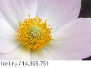Купить «Красивый цветок анимона», эксклюзивное фото № 14305751, снято 23 мая 2015 г. (c) Юрий Морозов / Фотобанк Лори