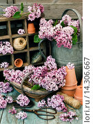 Купить «Weathered metal watering can, tools and small garden trug filled with lilac.», фото № 14306667, снято 21 мая 2012 г. (c) age Fotostock / Фотобанк Лори