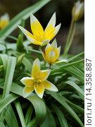 Купить «Tarda tulip, Tulipa tarda / Tarda-Tulpe, Tulipa tarda», фото № 14358887, снято 14 апреля 2004 г. (c) age Fotostock / Фотобанк Лори
