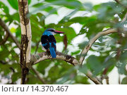 Купить «Blue-breasted Kingfisher (Halcyon malimbica) adult, perched on branch, Uganda, June», фото № 14370467, снято 3 декабря 2013 г. (c) age Fotostock / Фотобанк Лори