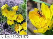Купить «Адонис весенний (Adonis vernalis). Группа цветущих растений и одиночный цветок крупным планом», фото № 14379875, снято 15 мая 2014 г. (c) Евгений Мухортов / Фотобанк Лори