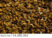 Купить «Honey bees swarming in a plum tree in the Cotswolds, UK», фото № 14380363, снято 5 июля 2020 г. (c) age Fotostock / Фотобанк Лори