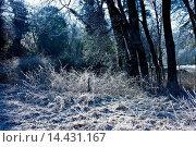 Купить «Woodland scene during hoar frost, The Cotswolds, Oxfordshire, United Kingdom», фото № 14431167, снято 21 июля 2018 г. (c) age Fotostock / Фотобанк Лори