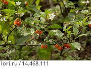 Купить «Hairy Nightshade (Solanum villosum) flowering and in fruit, France, October», фото № 14468111, снято 27 марта 2019 г. (c) age Fotostock / Фотобанк Лори