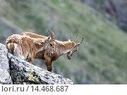 Купить «Capricorn, Ibex, mountain goat, cloven-hoofed animal, horns, Bovidae, goat-antelopes, Capra ibex, mountains, rut, goats, horns, winter coat, alpine, fur...», фото № 14468687, снято 15 июня 2009 г. (c) age Fotostock / Фотобанк Лори