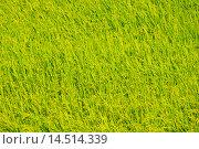 Rice field. Стоковое фото, фотограф Александр Подшивалов / Фотобанк Лори