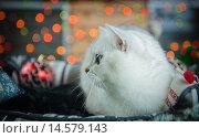 Серебристый затушеванный британский кот в Рождество. Стоковое фото, фотограф Postolatii Natalia / Фотобанк Лори