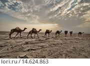 Купить «Camel caravans carrying salt through the desert in the Danakil Depression, Ethiopia.», фото № 14624863, снято 12 ноября 2018 г. (c) age Fotostock / Фотобанк Лори