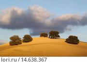 Купить «Holm oaks (Quercus ilex) on a cultivated field. Málaga province, Andalusia, Spain.», фото № 14638367, снято 19 ноября 2013 г. (c) age Fotostock / Фотобанк Лори