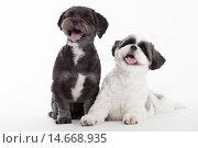 Купить «2 shi tzu dogs on white», фото № 14668935, снято 27 марта 2019 г. (c) PantherMedia / Фотобанк Лори