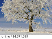 Купить «Oaks with snow in winter, Vechta district, Niedersachsen, Germany / Eichen mit Schnee im Winter, Landkreis Vechta, Niedersachsen, Deutschland», фото № 14671399, снято 21 декабря 2010 г. (c) age Fotostock / Фотобанк Лори