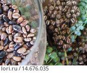 Купить «Mammon, nut, display, Rondonópolis, Mato Grosso, Brazil.», фото № 14676035, снято 21 апреля 2006 г. (c) age Fotostock / Фотобанк Лори