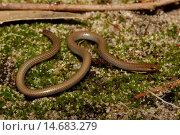 Sedgelands worm-lizard. Стоковое фото, фотограф Auscape\UIG / age Fotostock / Фотобанк Лори