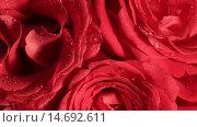 Купить «Красные розы в росе крупным планом», видеоролик № 14692611, снято 21 сентября 2015 г. (c) Юлия Машкова / Фотобанк Лори