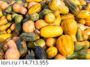 Купить «Урожай тыквы», фото № 14713955, снято 4 октября 2015 г. (c) Сергей Лаврентьев / Фотобанк Лори