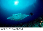 Купить «manta, Atlantic manta, giant devil ray, giant manta (Manta birostris), with scuba diver, Maldives, Indian Ocean», фото № 14721451, снято 20 ноября 2019 г. (c) age Fotostock / Фотобанк Лори