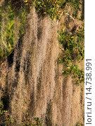 spanish Moss (Tillandsia usneoides), epiphytes hanging in a tree, USA, Florida, Everglades National Park. Стоковое фото, фотограф M. Woike / age Fotostock / Фотобанк Лори