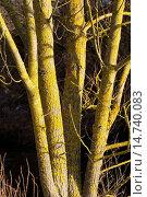 Купить «Common orange lichen, Yellow scale, Maritime sunburst lichen, Shore lichen, Golden shield lichen (Xanthoria parietina, Parmelia parietina), lichen on the bark of a tree, Germany», фото № 14740083, снято 22 февраля 2019 г. (c) age Fotostock / Фотобанк Лори