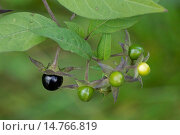 Купить «deadly nightshade (Atropa bella-donna, Atropa belladonna), fuits, Germany, Bavaria, Oberbayern, Upper Bavaria», фото № 14766819, снято 17 сентября 2013 г. (c) age Fotostock / Фотобанк Лори