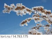 Пушистый иней на растениях на фоне голубого неба. Стоковое фото, фотограф Синицын Юрий Альбертович / Фотобанк Лори