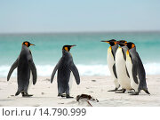Купить «king penguin (Aptenodytes patagonicus), group of penguins walking over the beach to the sea, Falkland Islands, Volunteer Point», фото № 14790999, снято 8 января 2006 г. (c) age Fotostock / Фотобанк Лори